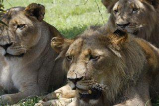 Un guía de safari se pasa de listo y se lleva un susto de muerte al seguir a unos leones escondidos entre las malezas