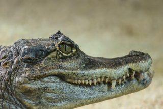 """""""Spidercroc"""": Un cocodrilo escala hábilmente la valla de una base militar estadounidense"""