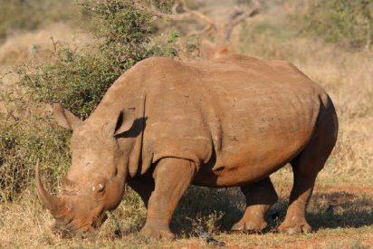 Un enfurecido rinoceronte sudafricano arremete alocadamente contra un jeep de turistas