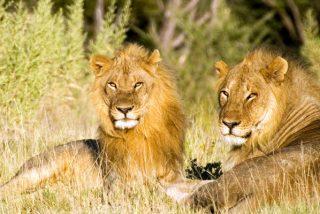 Esta pareja de leones se alían para atrapar a un jabalí escondido en su madriguera