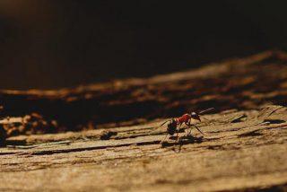 Maravillosas imágenes a cámara lenta de una hormiga picando con su aguijón a su objetivo