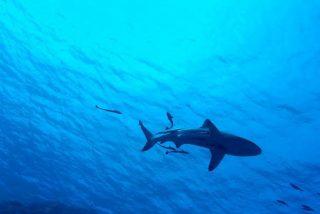Descubren unas nuevas especies de tiburones que brillan en el fondo marino