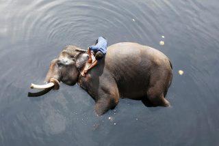 Estos elefantes son arrastrados por la corriente durante las mortales inundaciones que azotan la India