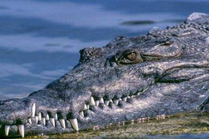Encuentran una placa metálica para corregir huesos dentro de un cocodrilo