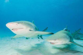 Un youtuber pone a prueba el olfato de los tiburones utilizando su propia sangre como carnada