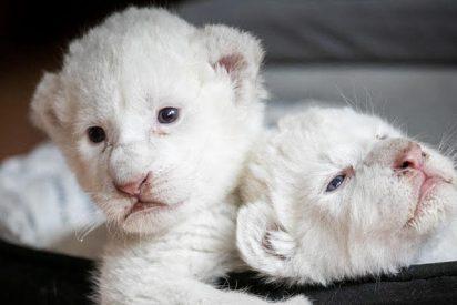 Nacen dos preciosos cachorros de león blanco en un centro de rehabilitación francés