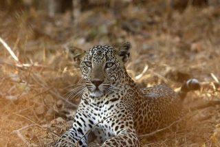 """Un leopardo burla a una hambrienta manada de leones para """"darse el piro"""""""