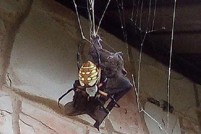 Araña gigante atrapa a un enorme murciélago en su red para comérselo