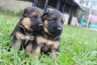 Así rescata la Guardia Civil a seis cachorros de pastor alemán enterrados vivos en Teruel