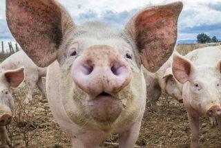 """Cirujano afirma que los corazones de cerdos podrían ser trasplantados a los humanos """"dentro de 3 años"""""""