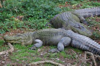 Brutus vs Dominator: el brutal combate de dos enormes cocodrilos en Australia