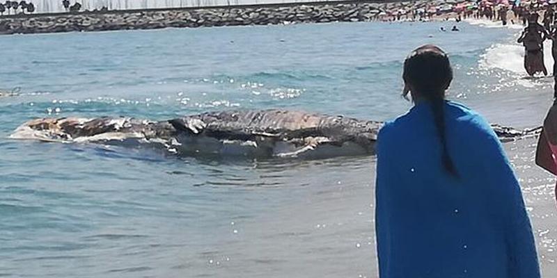 Esta ballena muerta obliga a prohibir el baño en la playa de Mataró