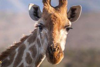 Un borracho intenta subirse sobre una jirafa de un zoo en Kazajistán y pasa esto…