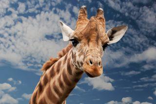 El borracho intenta subirse a la jirafa y pasa esto…