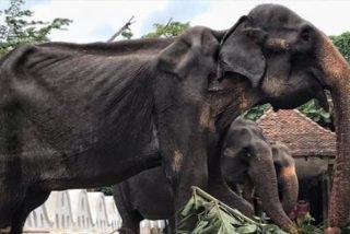 Las terribles imágenes de Tikiri: la elefanta de 70 años enferma obligada a trabajar en un festival en Sri Lanka