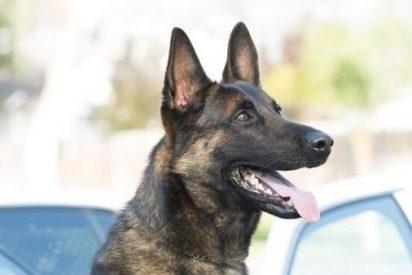 Muere este perro policía en el interior del coche patrulla a causa de un golpe de calor