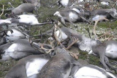 Más de 200 renos en Noruega aparecen muertos de hambre y los científicos responsabilizan al cambio climático