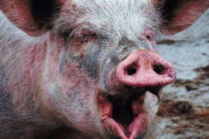 El juez ordena el ingreso en prisión de dos agricultores por contrabando de semen de cerdo en botellas de champú