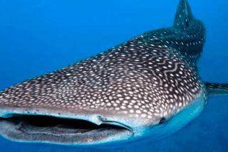 "Todo lo que debes saber si pretendes nadar junto al gigantesco ""Tiburón Ballena"""