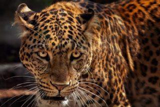 "Combate a ""última sangre"" entre un feroz jaguar y un iracundo caimán"