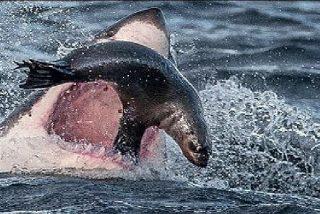 Voraz tiburón blanco destroza a dentelladas a una indefensa foca provocando el horror en unos turistas