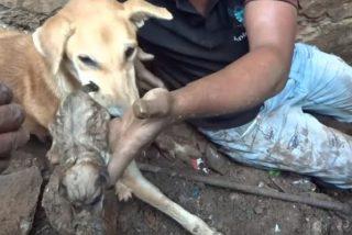 Estremecedoras imágenes de una maternal perra cavando entre unos escombros en la India para rescatar a sus cachorros