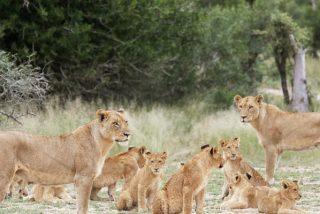 """Manada de leones, """"tan panchos"""", se da una vuelta por las calles de la India"""