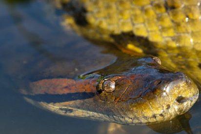Buceadores brasileños quedan estupefactos al grabar una monstruosa anaconda en el fondo de un río