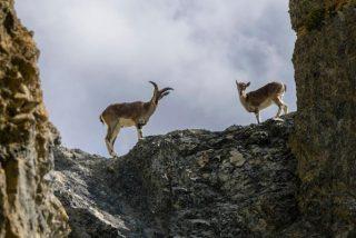 """Cabras """"funambulistas"""" descienden plácidamente por un escarpado y peligroso acantilado"""