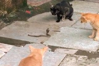 Cuatro gatos con coraje que acosan y derriban a una cobra consiguen triunfar en las redes sociales