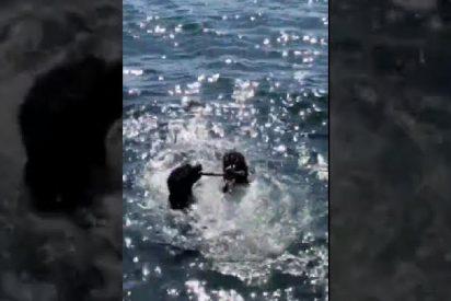 """Dos perros no se aclaran en la dirección en la que deben nadar para devolver el palito a sus """"sádicos"""" propietarios"""