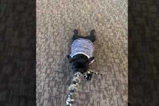 El perro 'cabezota' se agarra desesperado a su juguete favorito como si no hubiera un mañana