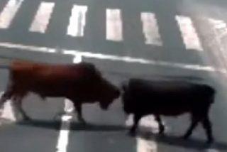 Dos furibundos toros se dan de cornadas en una autopista china y hacen huir a los coches en tránsito