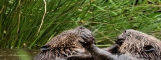 """Dos castores en un río de Escocia se montan su propio remake de """"Rocky"""""""