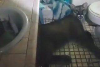 """Un puma se toma un momento de """"relax"""" en el cuarto de baño de una casa ante la mirada atónita de sus inquilinos"""