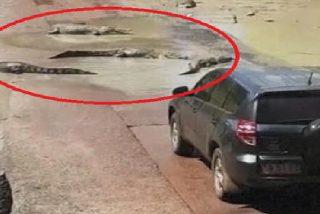 """Estos cocodrilos detiene el tráfico en Australia y crea su propio """"paso de peatones"""""""