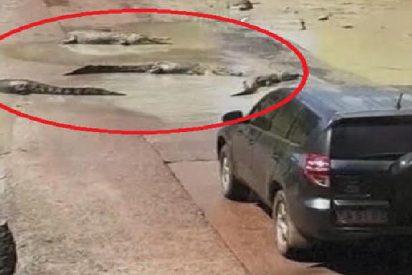 Estos cocodrilos paran el tráfico y crean su propio 'paso de peatones'