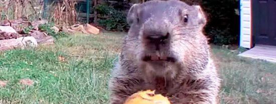 """La """"marmota ladrona"""" se harta de hortalizas de un huerto y la convierten en una celebridad"""