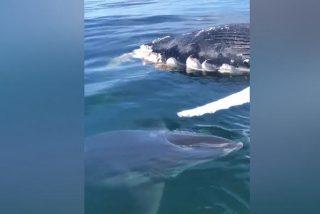 Cunde el pánico entre unos pescadores al ver un terrible tiburón acechando el cadáver de una ballena