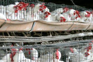 """Británica """"monta un pollo"""" descomunal a costa de las aves de corral enjauladas en un mercado marroquí"""