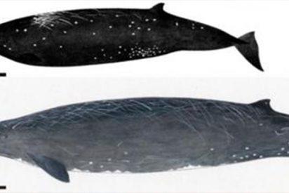 Así es la nueva especie de ballena descubierta en Japón