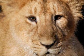 Así fue la increíble reacción de un león al encontrarse con su cachorro por primera vez