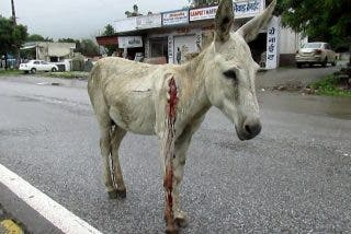 Rescate y salvación de un burro herido y aterrorizado