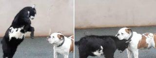Cabra cabreada ataca a un indefenso perro, pero reacción del can deja sorprendidos a usuarios