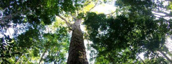 Descubren el árbol más alto del Amazonas