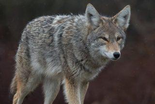 Vídeo Viral: la niña se libra de milagro de ser devorada por el coyote