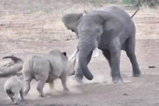 El elefante abusón da una tunda a la mama rinoceronte y a su cría