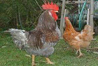 Chiste: el de la gallina ponedora, el huevo de medio kilo y el gallo cabreado