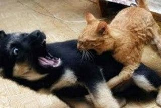 Mascotas: Gato 'ninja' contra perro