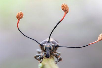 La escalofriante imagen de un 'hongo zombi' que toma el control total de un escarabajo en Perú